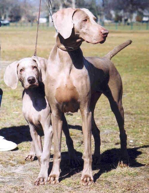 Weimaraner Dam And Puppy Courtesy Carole Lee Richards