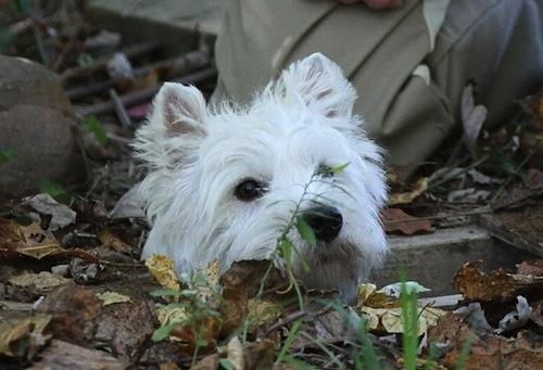 Westie Earthdog