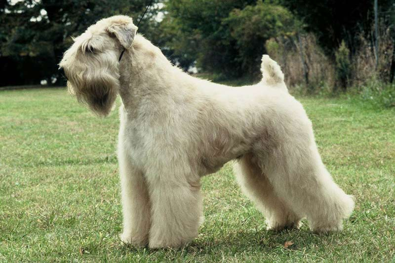 Soft Coated Wheaten Terriers