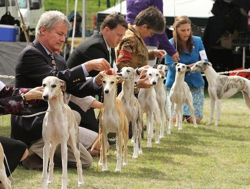 Whippets show ring