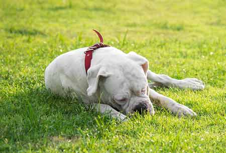 Does Eating Grass Make Dogs Throw Up