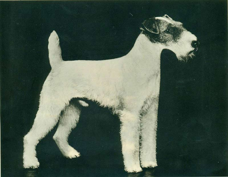 Wire Fox Terrier Histo...