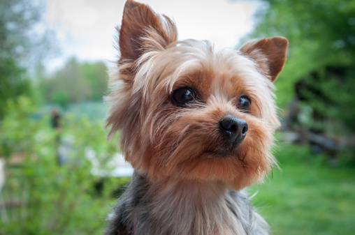 yorkie outside