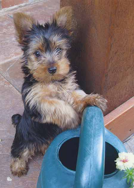 yorkie with watering can