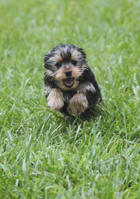 yorkie in the grass