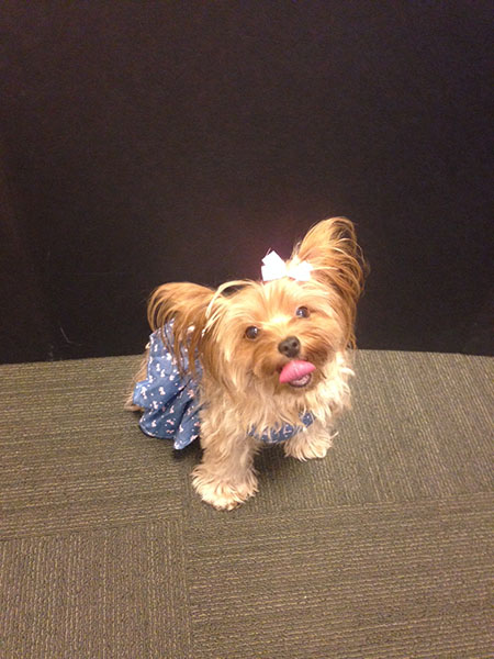 yorkie in a dress