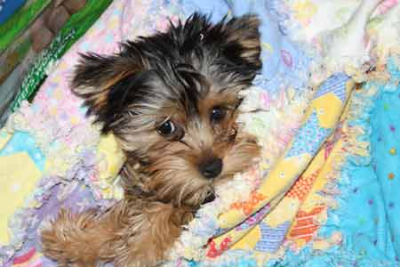 yorkie in a blanket