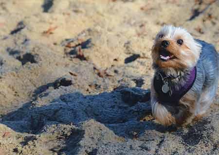 yorkie on the beach