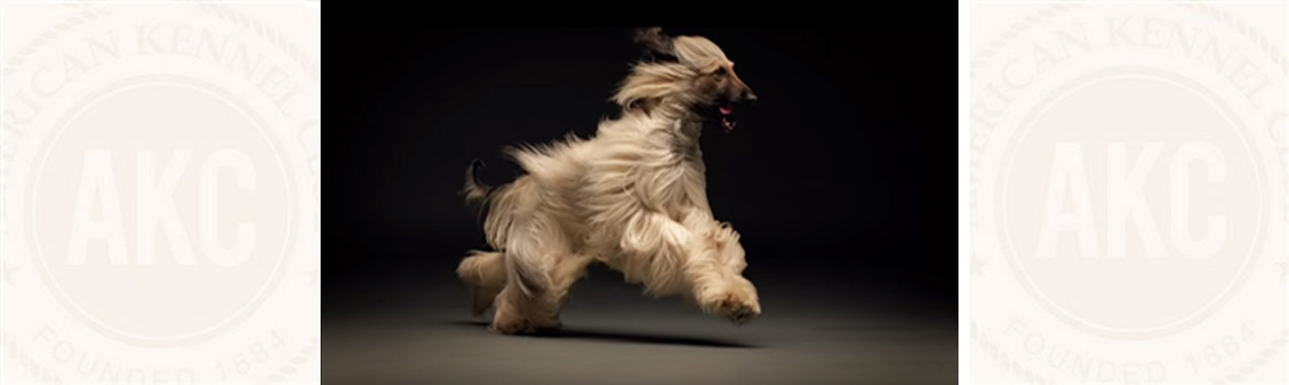 ... Glamorous Shih Tzu Coat, From Top Knot to Tail - American Kennel Club
