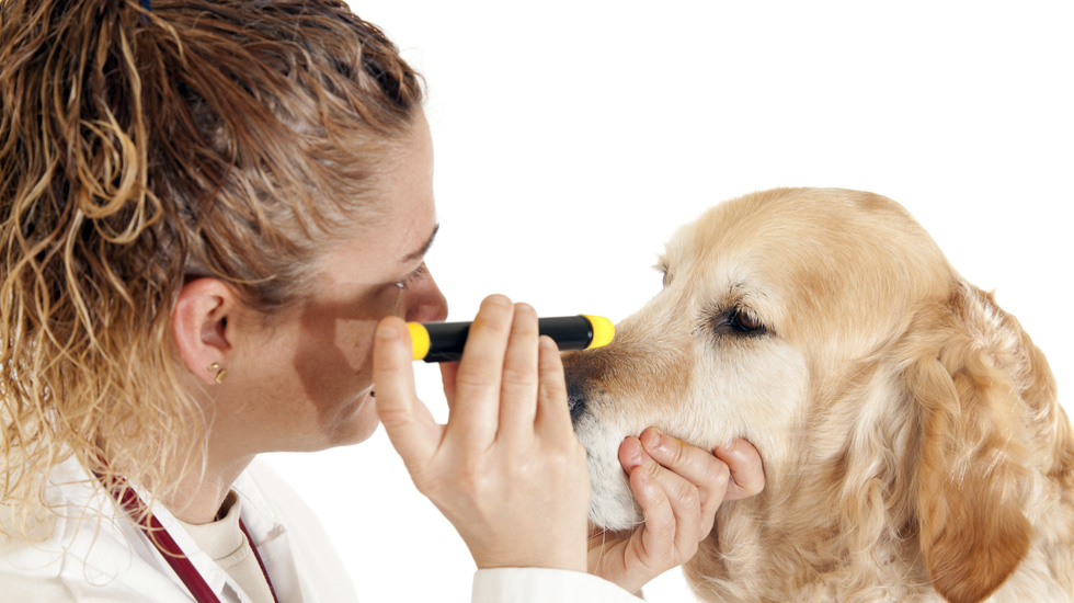 Dog Eye Infections: Symptoms, Causes & Treatment – American