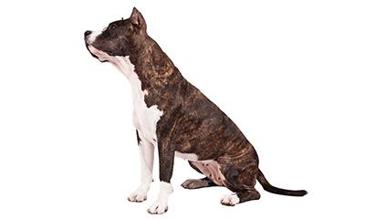 all american dog breed