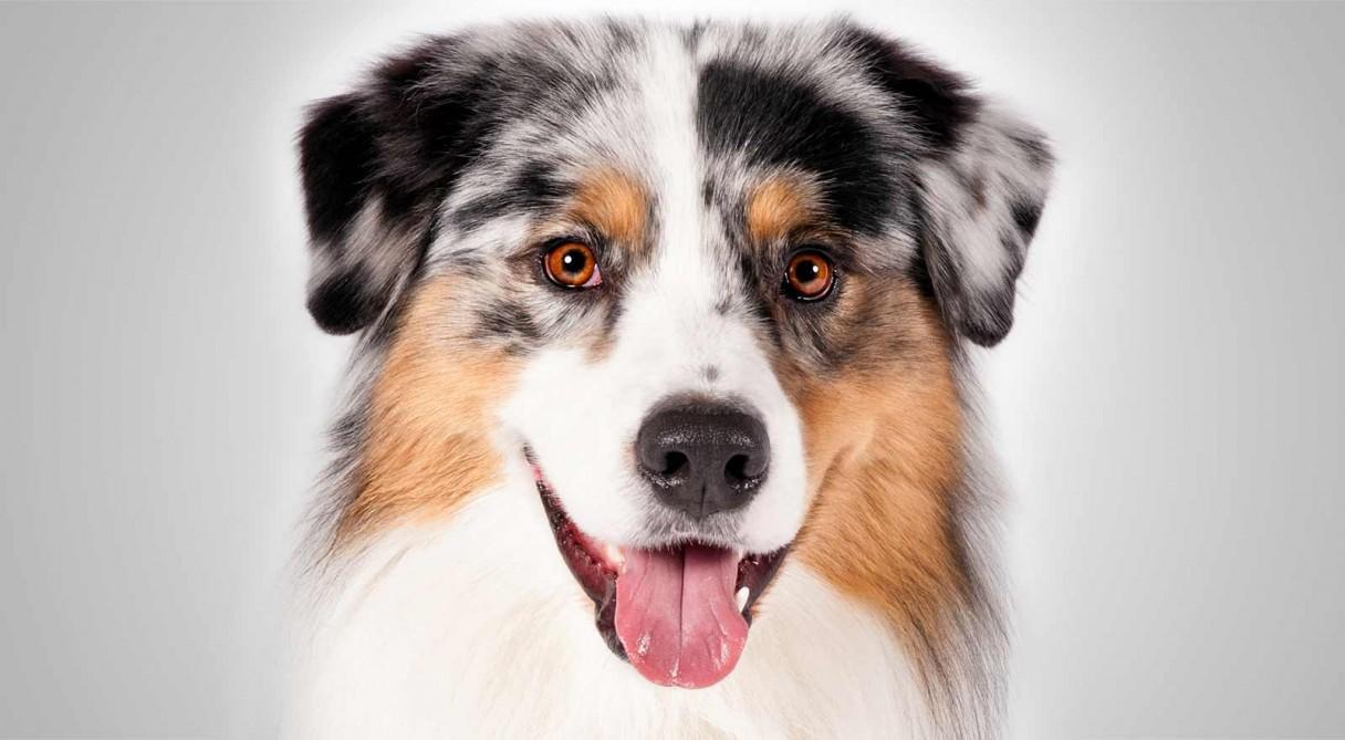 Dog Breeds Australian Shepherd