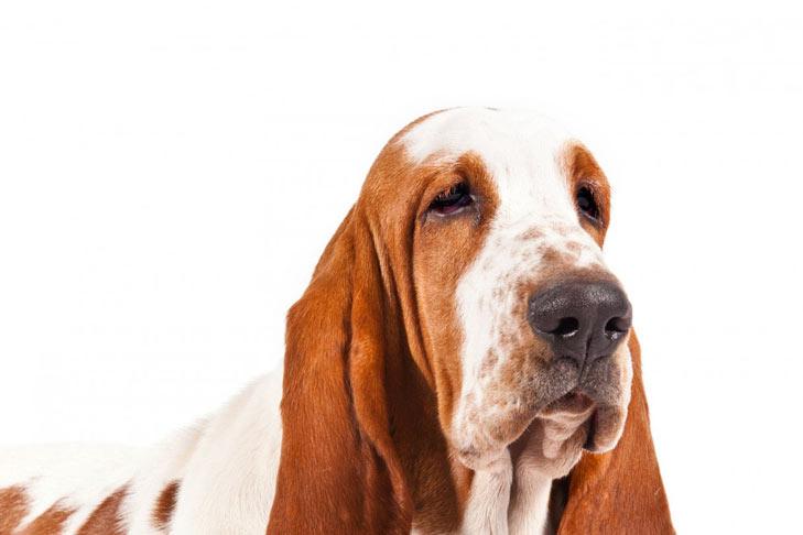 How To Train A Basset Hound Dog