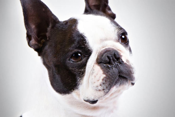Boston Terrier Group In Dog Show