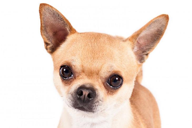 Little Chiwawa Dog Breeds