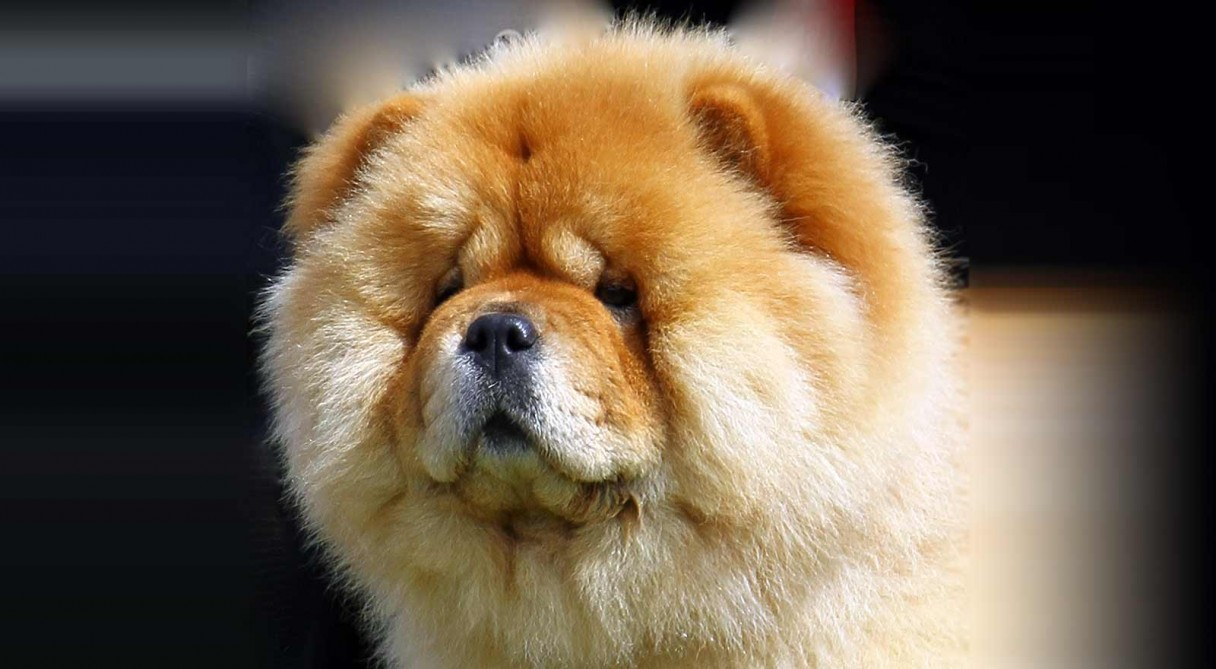 Dog Breeds Chow Chow