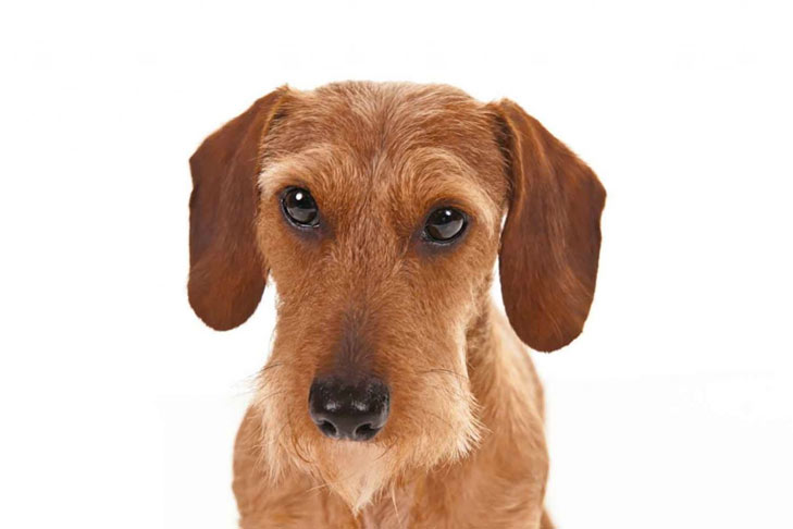 List of dachshund breeds