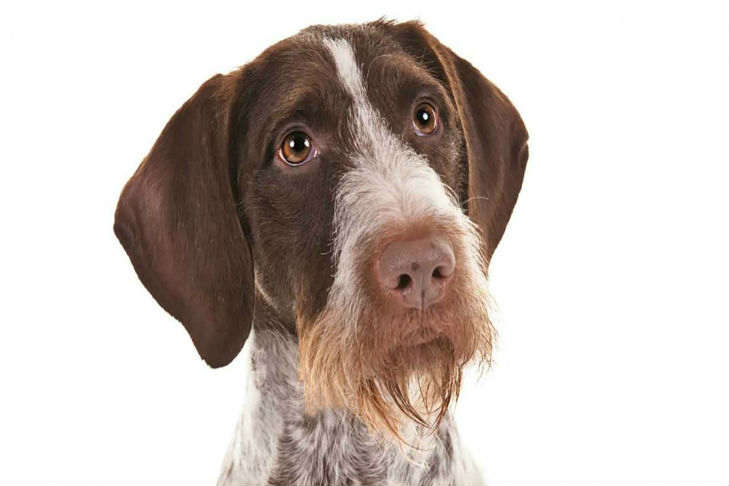 german wirehaired pointer dog breed information american