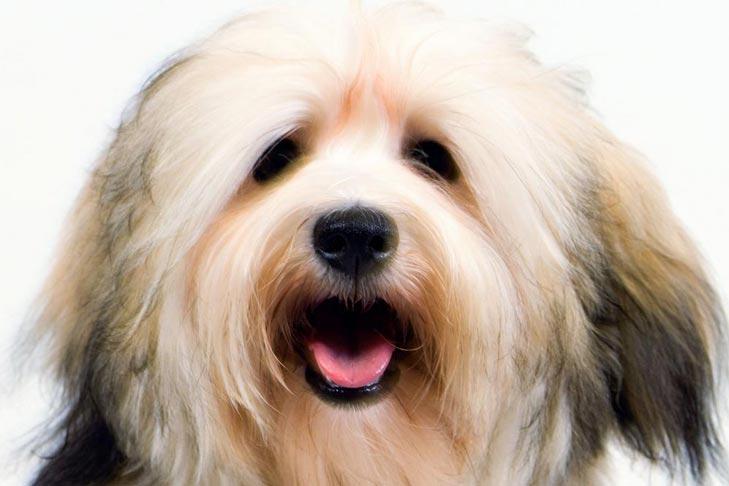 Havanese Dog Breed Information American Kennel Club