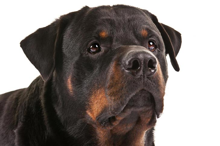 Are Rottweilers Good Service Dogs
