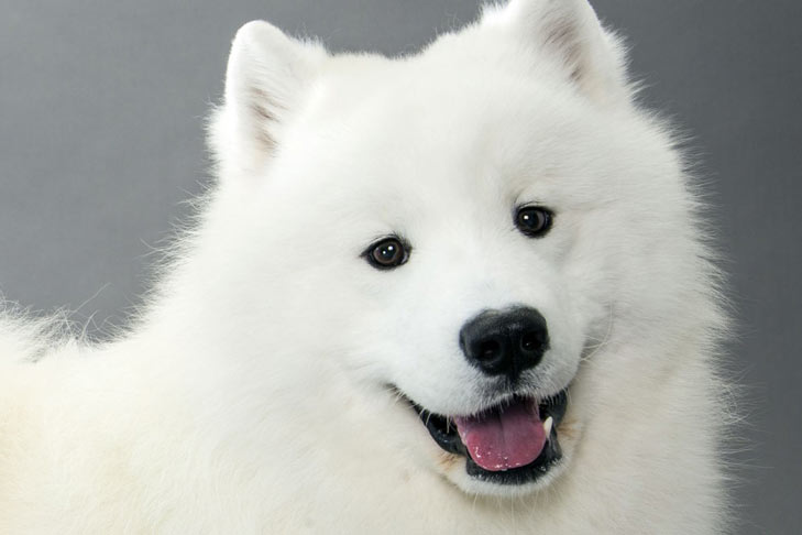 american eskimo dog black