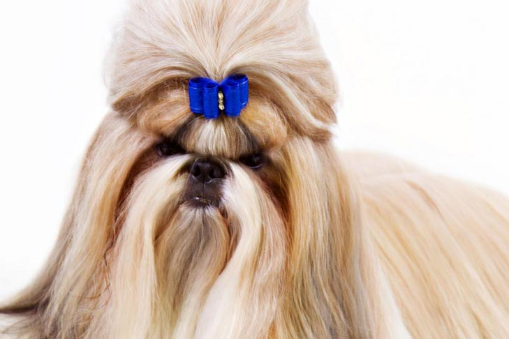 Shih Tzu Dog Breed Information - American Kennel Club