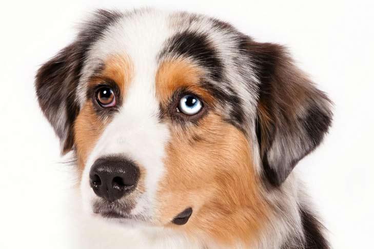 Miniature American Shepherd Dog Breed Information