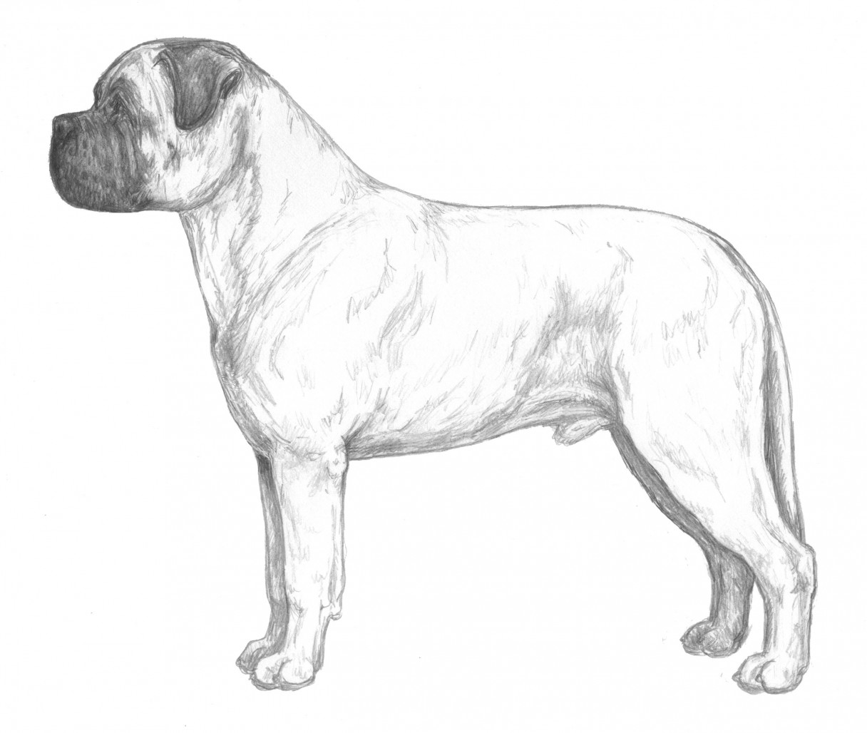 Bullmastiff Breed Standard Illustration