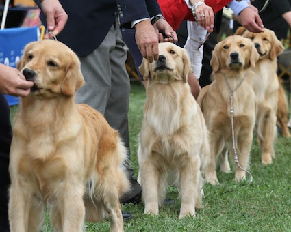 How to Find a Quality Golden Retriever Puppy – American