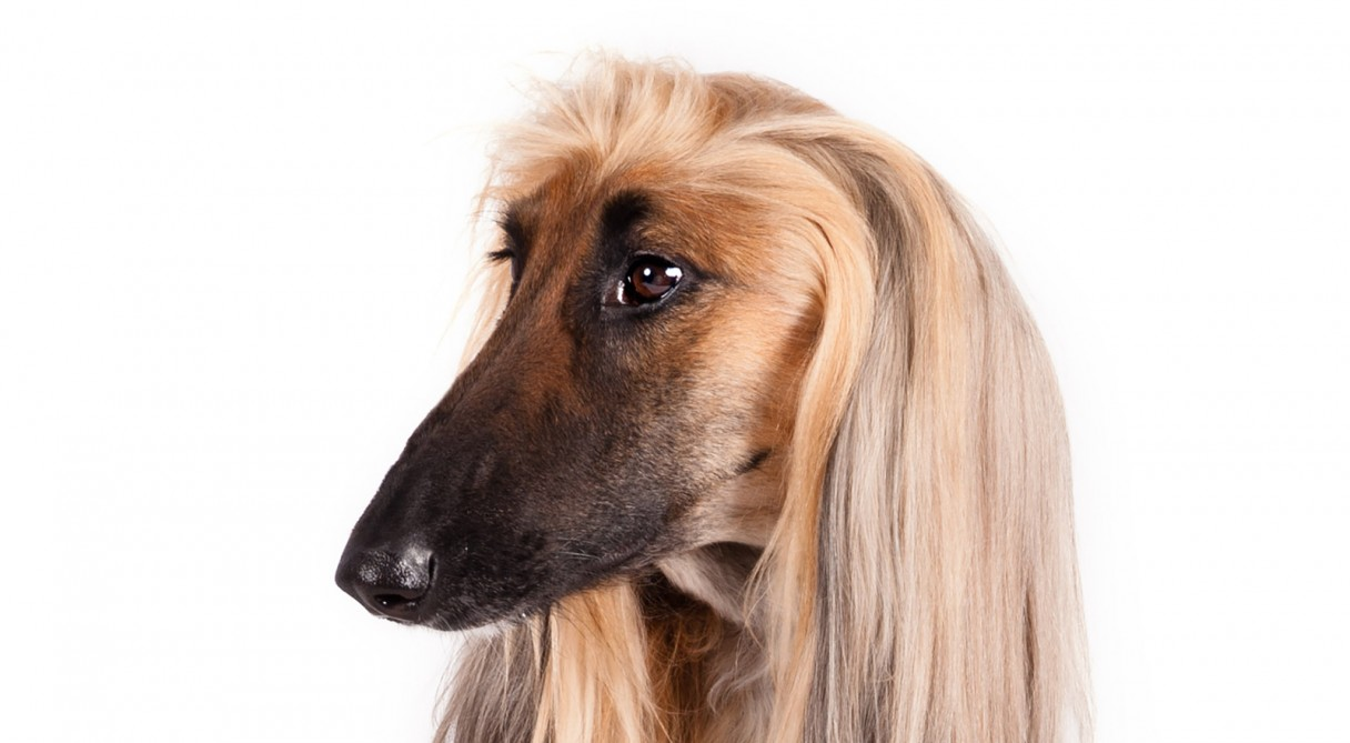 Afghan Hound Dog Breed Information  American Kennel Club