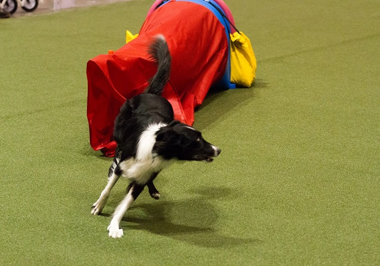 Agility Grand Champion – Recognizing A Lifetime Of Excellence