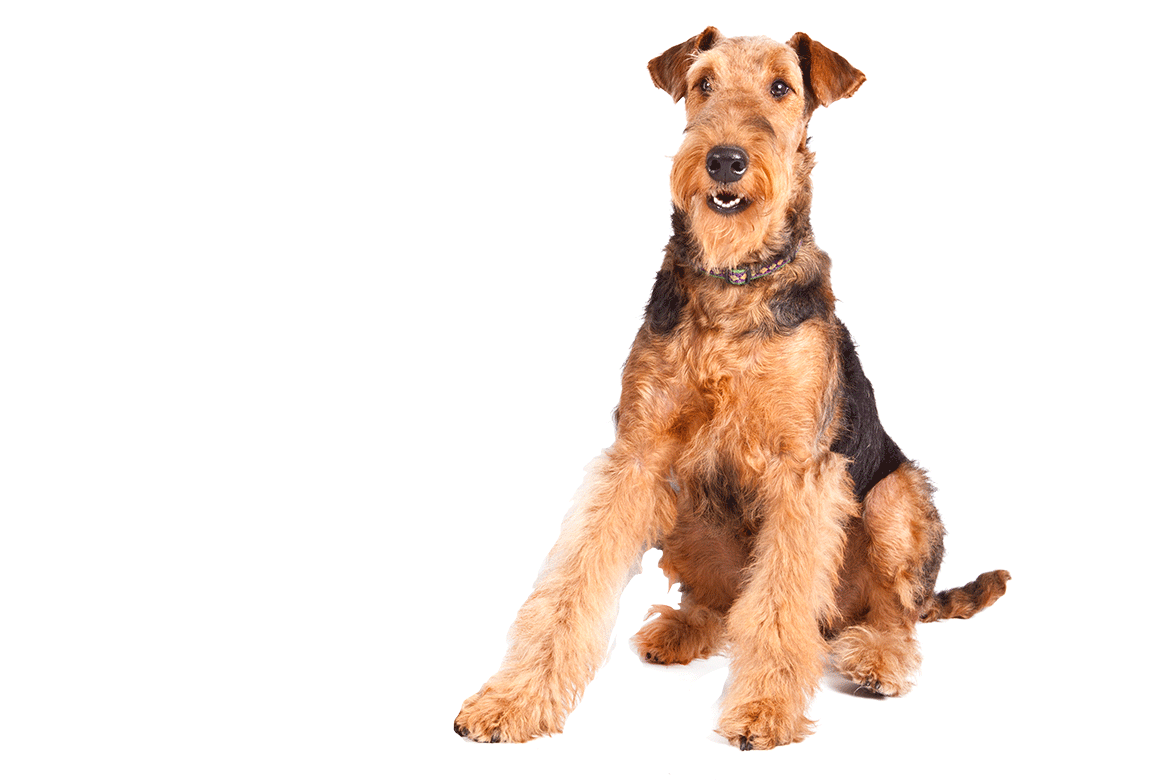 the most british dog breeds quiz by yodels