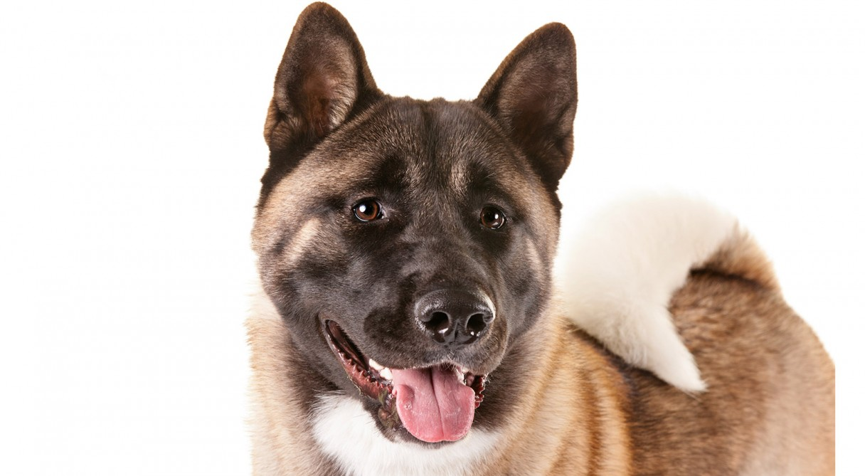 akita dog breed information   american kennel club