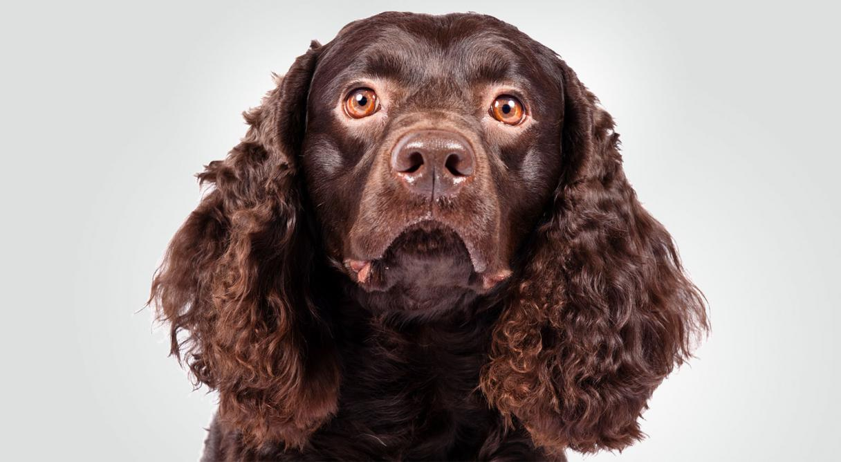 american water spaniel dog breed information   american