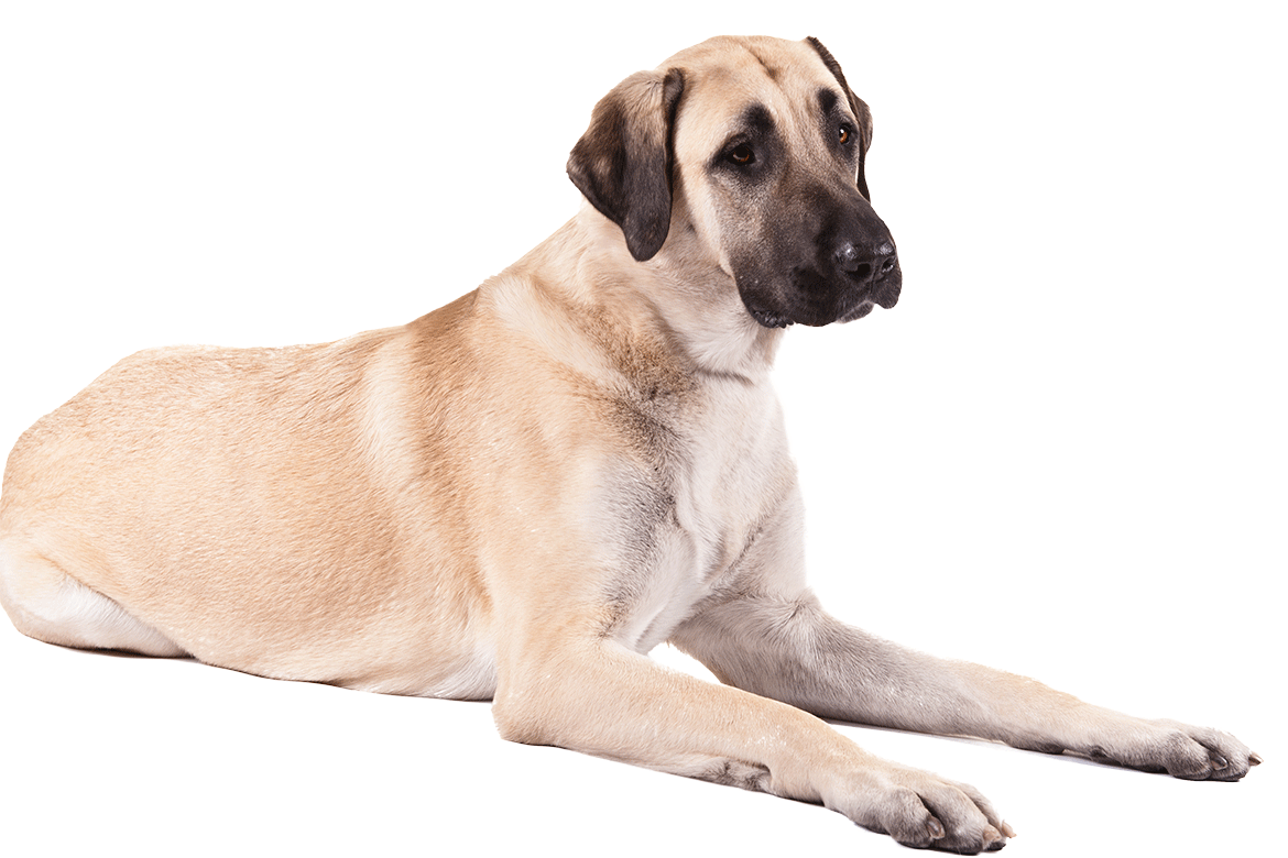 A Anatolian Shepherd Dog Dogs