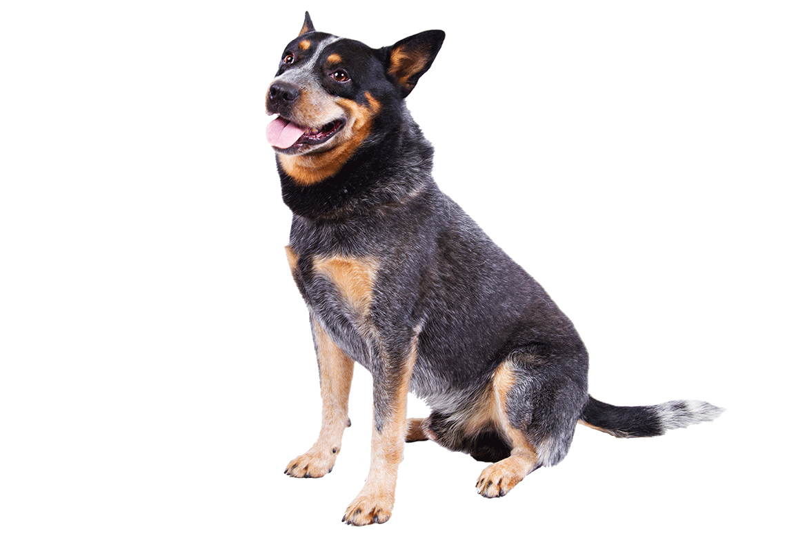 A Australian Cattle Dog Dogs