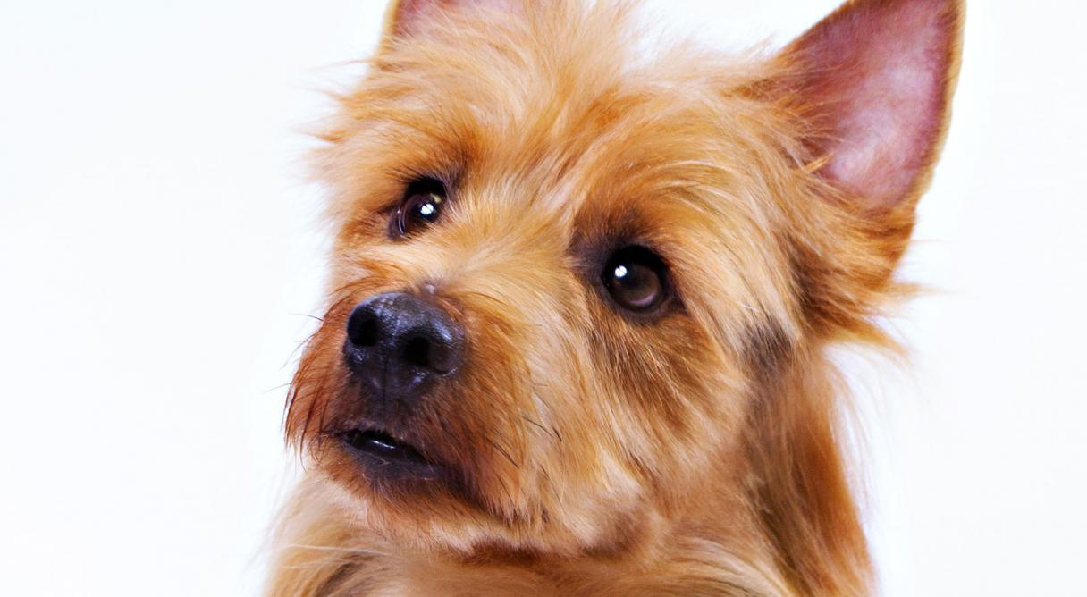 australian terrier dog breed information american kennel club