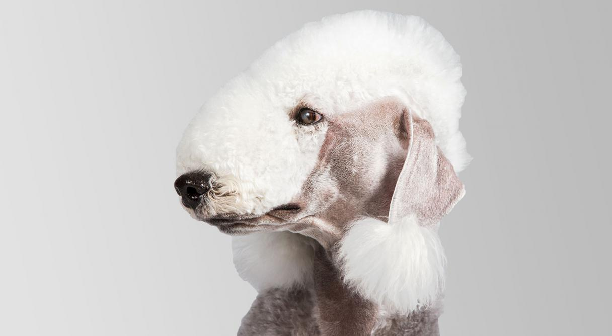 bedlington terrier dog breed information   american kennel