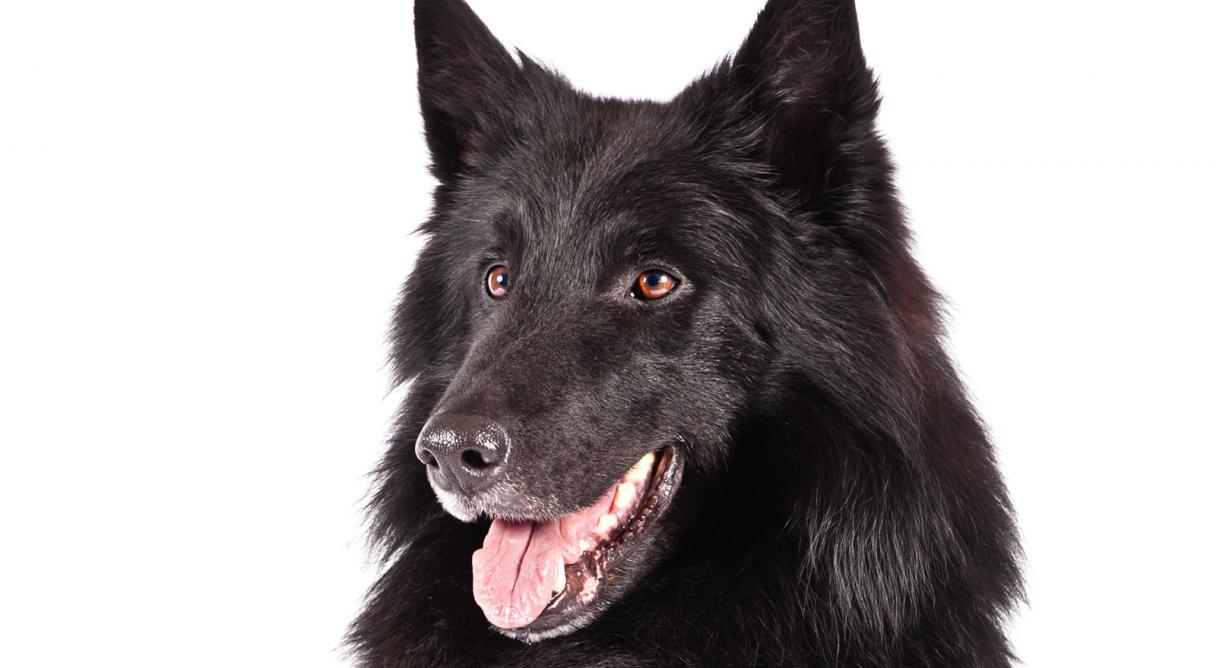 Belgian Sheepdog Dog Breed Information - American Kennel Club