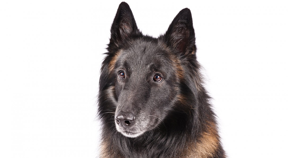 Belgian sheepdog mix