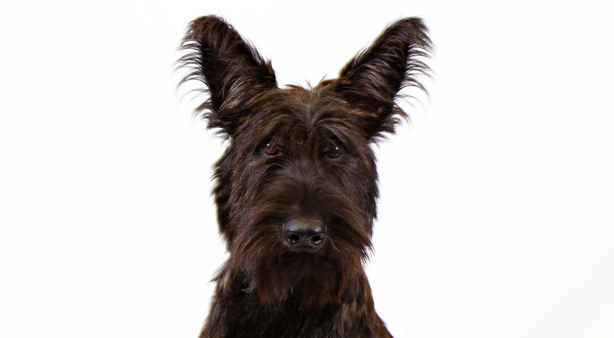 Berger Picard Dog Breed Information American Kennel Club