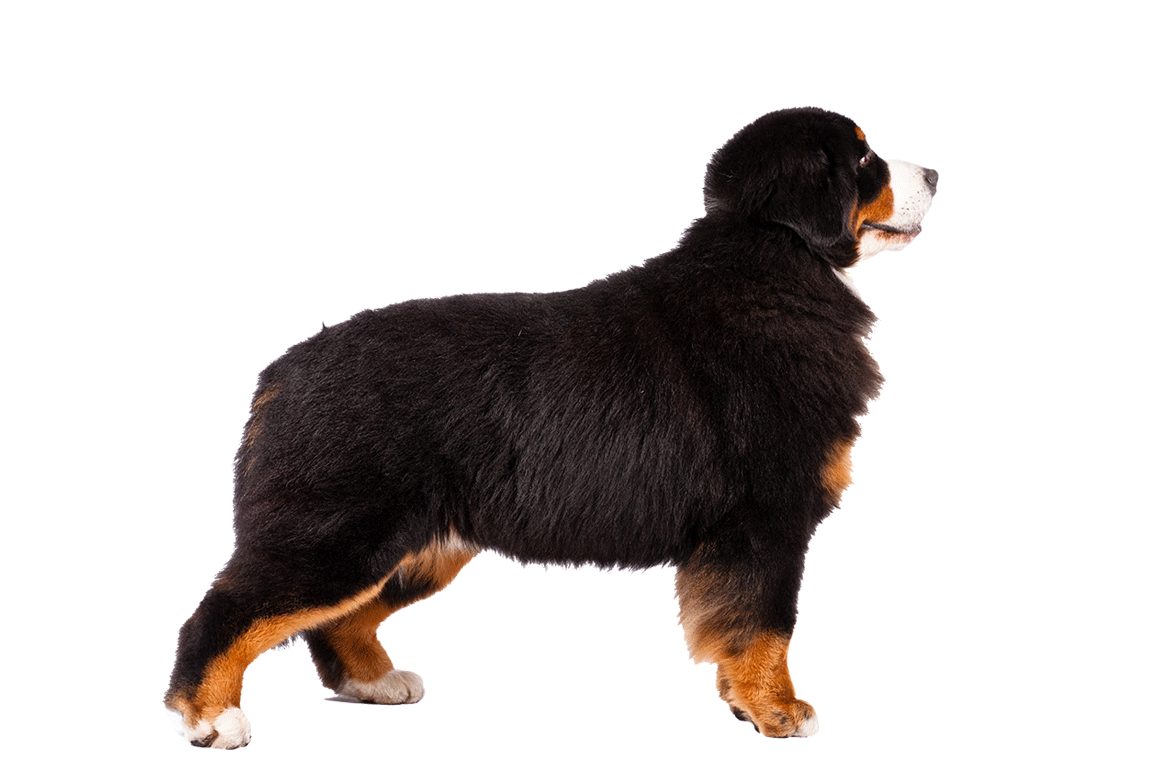 A Bernese Mountain Dog Dogs