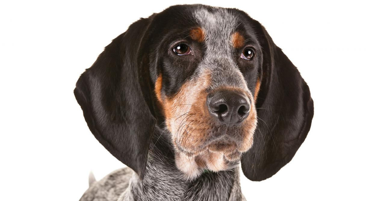 bluetick coonhound dog breed information   american kennel