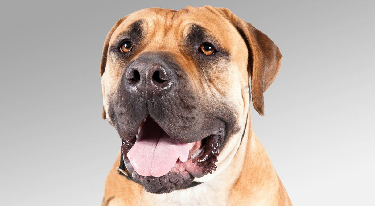 Boerboel Dog Breed Information - American Kennel Club