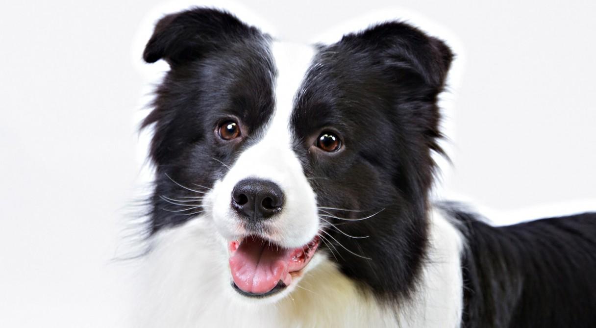 Dog Kennel Size For Border Collie