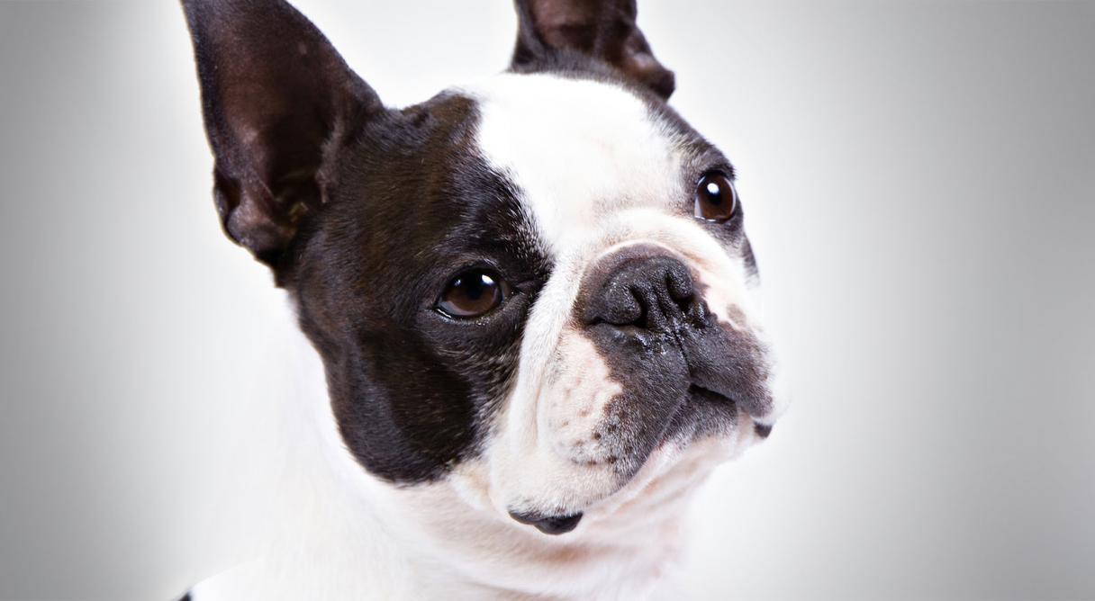 boston terrier history  u0026 training  temperament