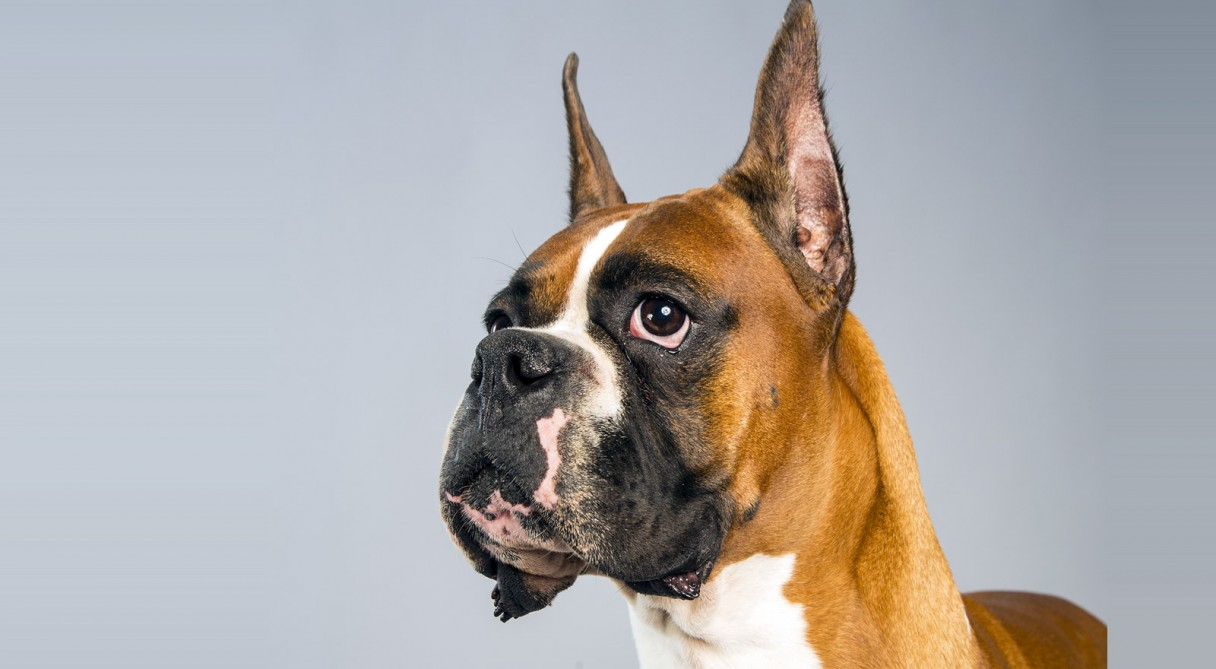 Boxer Dog Breed Inform...