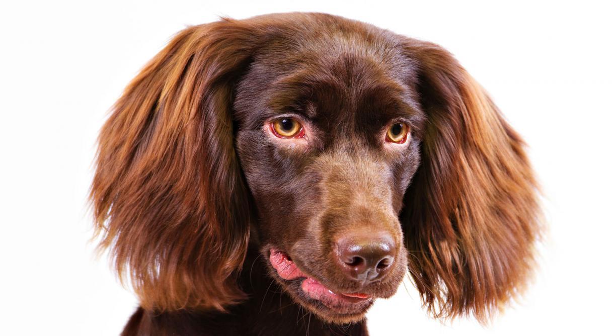 Boykin Spaniel Dog Breed Information - American Kennel Club