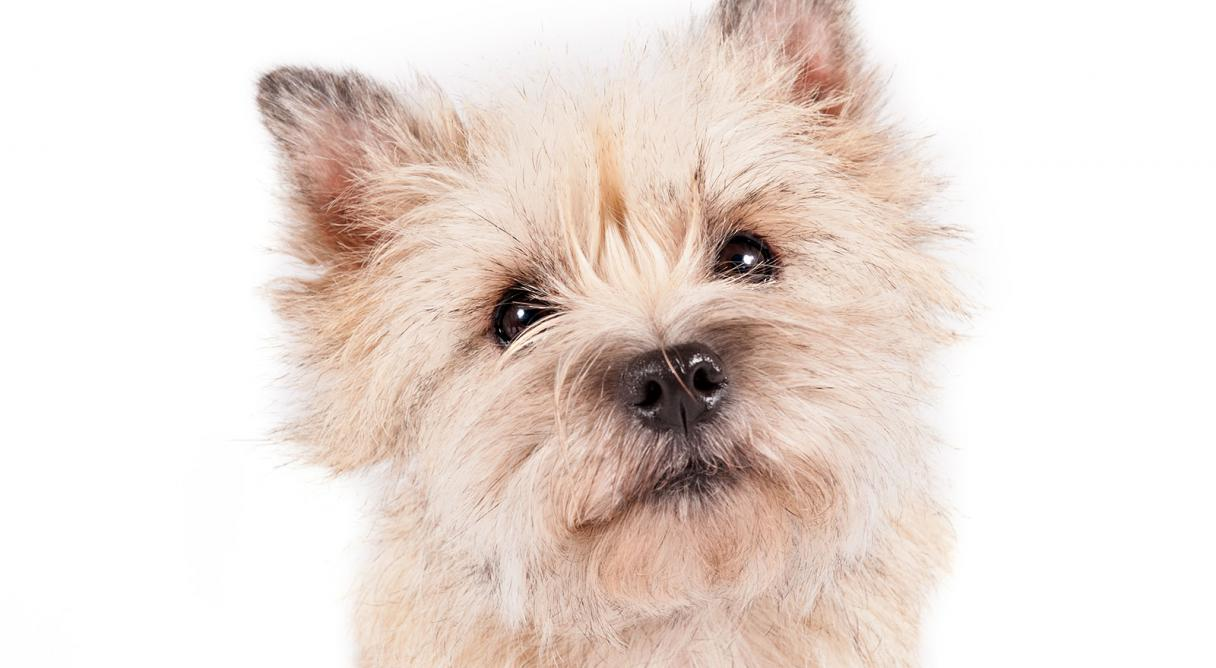 Pictures of a cairn terrier – Merry Dog Life photo blog | Cairn Terrier Puppies Houston Texas