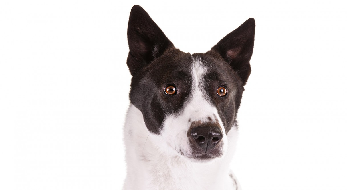 Canaan Dog Breed Information - American Kennel Club